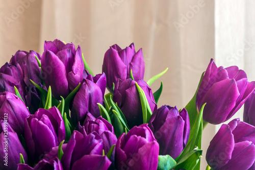 Beautiful purple festive tulips near the window.