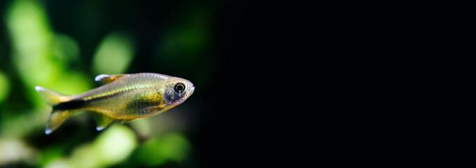 Aquarium fish Silver Tipped Tetra swimming freshwater aquarium tank, black background. copy space
