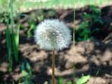 Fototapeta Dmuchawce - white fluffy dandelion in spring garden © Lesovichka