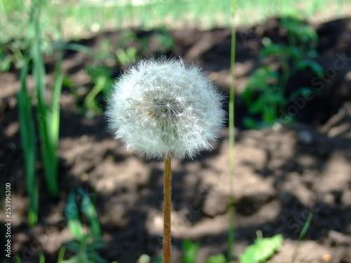 white fluffy dandelion in spring garden - 253996300