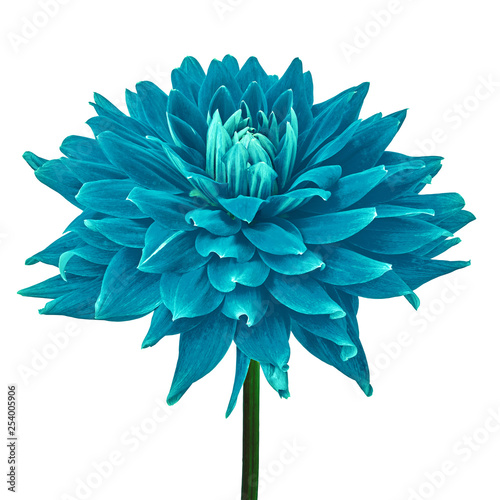 cerulean cyan dahlia flower isolated on a white background with clipping path. Close-up. Flower on a stem. Nature.