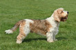Petit Basset Griffon on the green grass