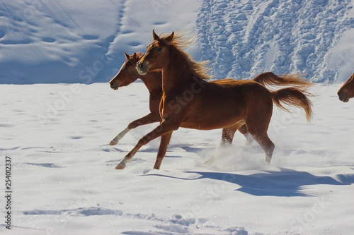 red horses run galloping in the snow in winter
