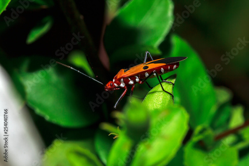 Cotton stainer on branches - 254040766