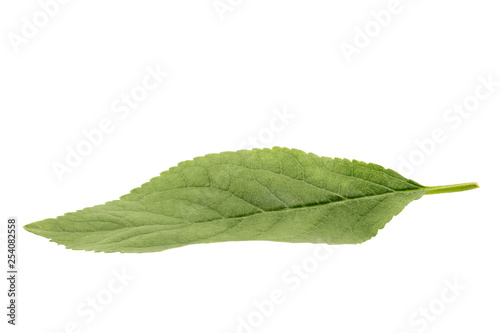 Green apple leaf isolated on white background - 254082558
