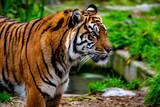 bengal tiger at the zoo