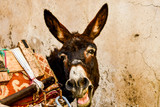 portrait of a donkey in front of wall, photo as background