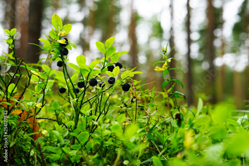 obraz PCV green leaves of tree in spring blueberries in the woods