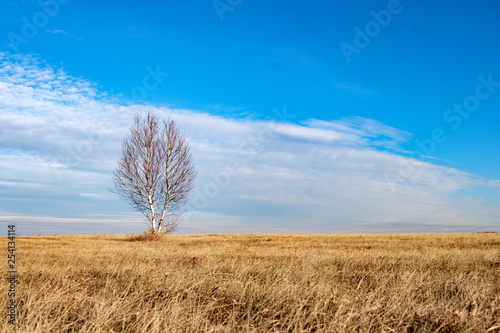 dry seasonal grass on the field and a lonely tree, a birch tree against a blue cloudy sky - 254134114