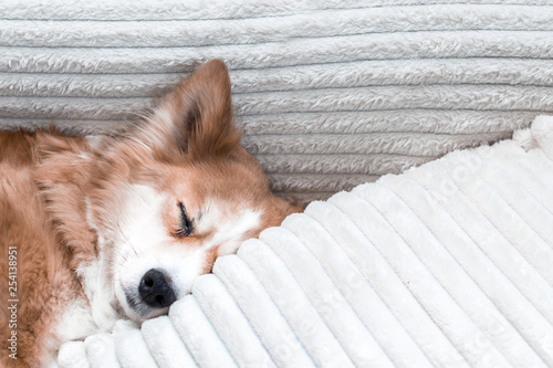 Muzzle close-up dog sleeping on a bed on a pillow in the apartment - 254138951