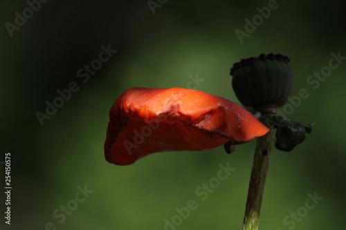 poppy - 254150575