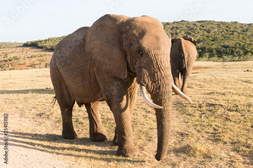 Elephants in Addo Elephant National Park in Port Elizabeth - South Africa
