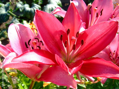 Pink lilies. Lush blooms. Sunny summer. - 254152964