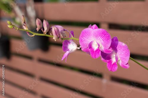 Phalaenopsis orchids.
