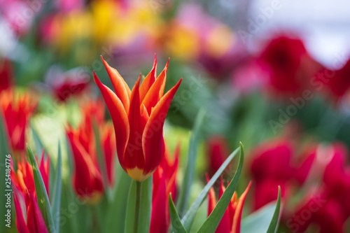 Red tulips on a blurred background