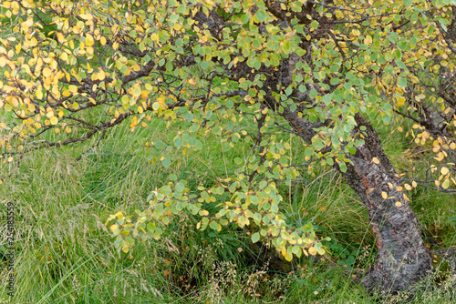 Birke (Betula) im Herbstkleid, Island - 254185559