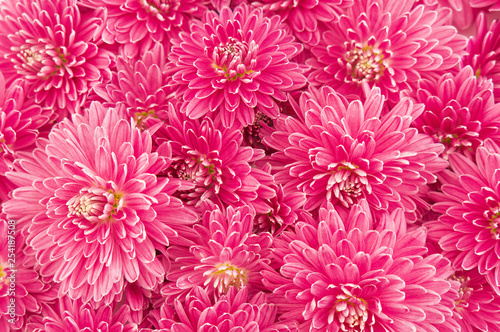 fluffy pink purple chrysanthemum flowers isolated on white background texture top view - 254187508