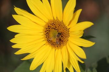 Une abeille dans une fleur de tournesol