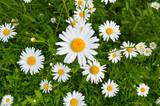 Chamomile flowers (Matricária)