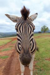 cape mountain zebra close up detail of head