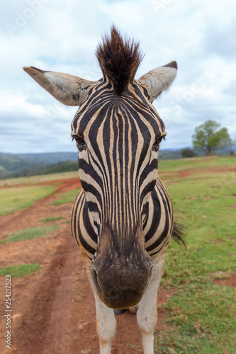 cape mountain zebra close up detail of head © mikefoto58