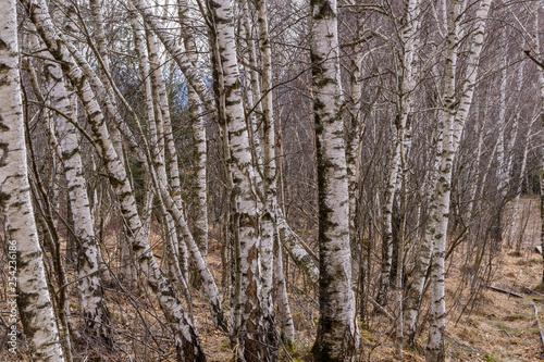 Birkenwald am Hochmnoor - 254236186