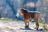 the Tiger at zoo