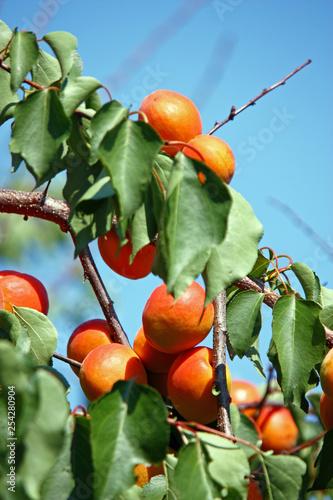 Ripe apricots - 254280904