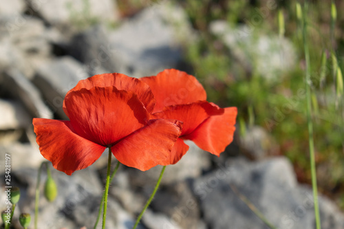 Red Poppy flowers - 254281197