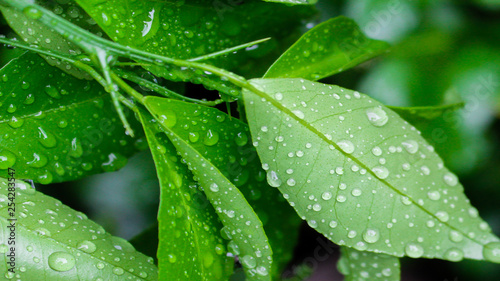 morning dew on the leaves of orange trees - 254283547