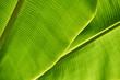 Closeup photo of textured green banana tree leaves outdoors