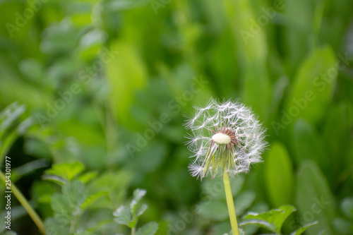 Half Dandelion Green Background with soft green bokeh and soft lighting