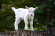 Leinwandbild Motiv White baby goat standing on green grass