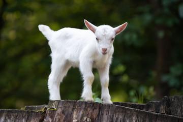 White baby goat standing on green grass © byrdyak