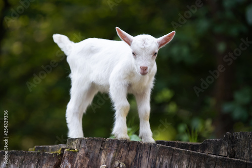 Leinwanddruck Bild White baby goat standing on green grass
