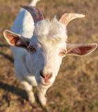 Portrait of a white goat in a pasture
