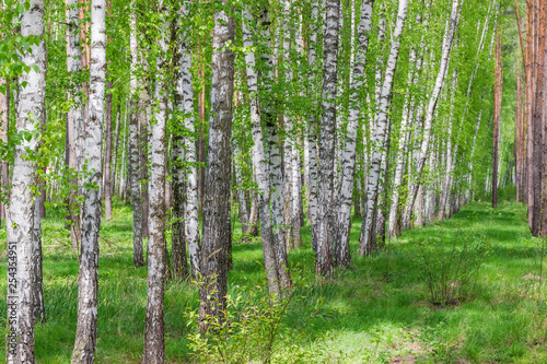 Fragment of the spring forest with birches on a foreground