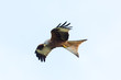 detailed view flying red kite (milvus milvus) bird of prey, spread wings