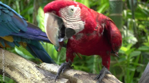 Red and blue macaws sitting in the tree branch in Ubud.