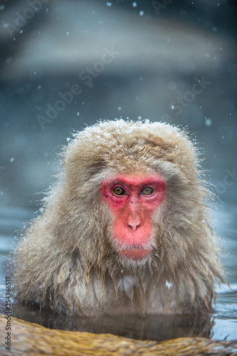 obraz PCV The Japanese macaque at Jigokudani hotsprings. Japanese macaque,Scientific name: Macaca fuscata, also known as the snow monkey.