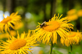 Bee on a yellow flower, busy with collecting pollen
