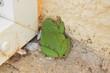 Animaux de nos jardins : grenouille rainette méridionale