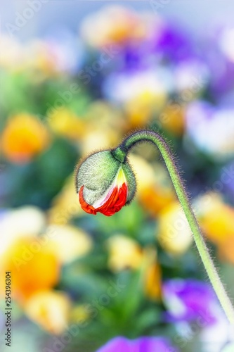 Beautiful red poppy bud on a colorful flower background - 254396304