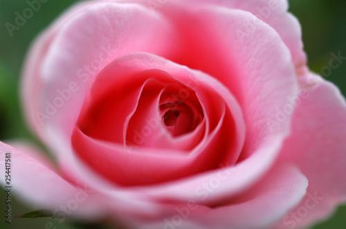 一輪のピンクのバラの花 - 254417581