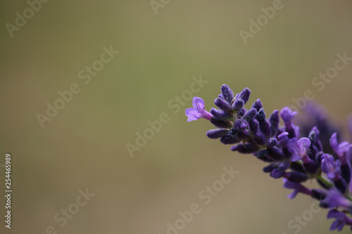 close-up of a blooming lavender - 254465989