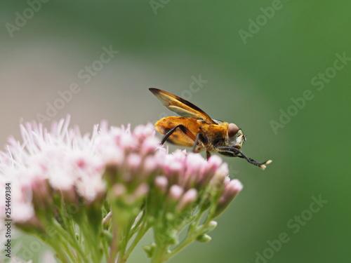 Gelbe Fliege auf Wasserdost - 254469384