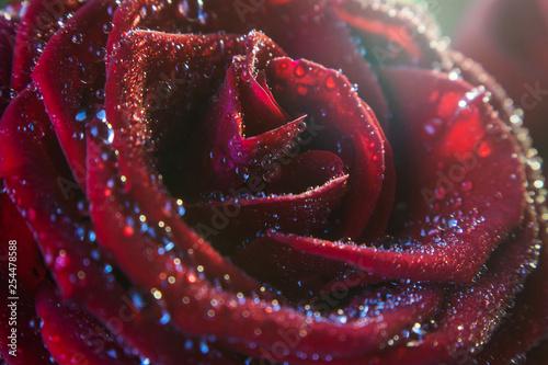 Red rose closeup in drops of water - 254478588
