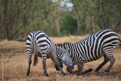 Zebras Fighting - 254517967