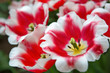 Close-up of closely bundled white-pink tulips. Easter background.