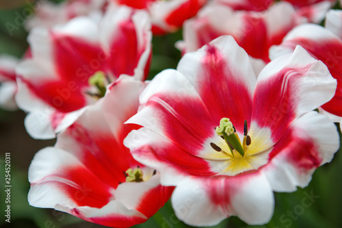 Close-up of closely bundled white-pink tulips. Easter background. - 254520311